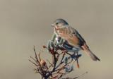 Fox Sparrow 0613-2j  Kougarok Road, Seward Peninsula, AK
