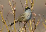 Golden Crowned Sparrow 0613-2j  Kougarok Road, Seward Peninsula, AK