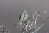 American Tree Sparrow  0613-1j  Kougarok Road, Seward Peninsula, AK