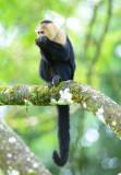 White-faced Capuchin Monkey  0114-7j  Sarapiqui
