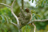 Three-toed Sloth  0614-5j  La Fortuna