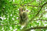 Two-toed Sloth  0614-2j  La Fortuna