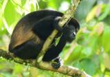 Mantled Howler Monkey  0614-10j  La Virgin Sarapiqui