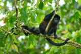 Mantled Howler Monkey  0614-13j  La Virgin Sarapiqui