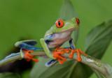 Red-eyed Tree Frog  0114-13j  Arenal Ecozoo
