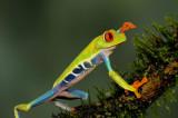 Red-eyed Tree Frog  0114-1j  Arenal Ecozoo