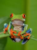 Red-eyed Tree Frog  0114-5j  Arenal Ecozoo