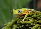 Lemur Tree frog  0114-4j  Arenal Ecozoo