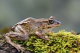 Slim-fingered Rain Frog  0114-1j  Arenal Ecozoo