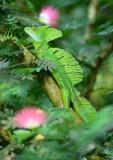 Emerald Basilisk  0614-1j  Selva Verde
