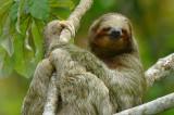 Three-toed Sloth  0614-14j  La Fortuna