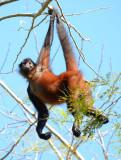Spider Monkey  0215-4j  Osa