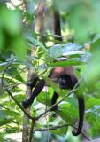 Spider Monkey  0215-5j  Osa