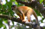 Squirrel Monkey  0215-7j  Osa