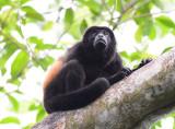 Mantled Howler Monkey  0215-5j  Osa
