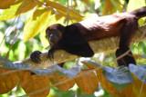 Mantled Howler Monkey  1115-4j.jpg