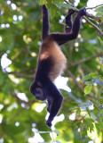 Mantled Howler Monkey  1115-9j.jpg