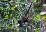 Spider Monkey  0215-1j.jpg