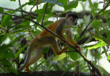Squirrel Monkey  0215-3j.jpg