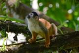 Squirrel Monkey  0215-5j.jpg