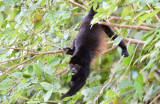 Mantled Howler Monkey  1115-6j.jpg