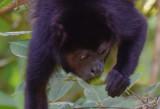 Mantled Howler Monkey  1115-7j.jpg