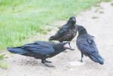 Juvenile ravens