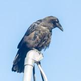 Juvenile raven on service mast.