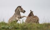 Zebra Warfare