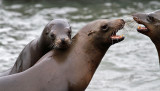 3 weeks in west USA - The sea lions in the marina of San Francisco