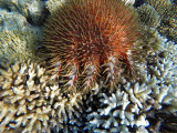 Pictures of Acanthaster Planci in the Mauritius lagoon (2014)