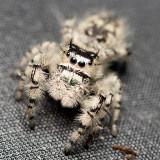 Jumping spider 2726 sm.jpg