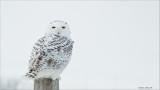 Maria's Snowy Owl