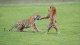 Royal Bengal Tigers in Battle (edit 1)