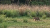 Royal Bengal Tiger in the Long Grass