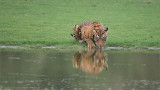 Tiger Drinking and Reflection