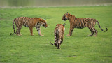Tigers about to Fight