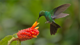 Green-crowned Brilliant on a Flower