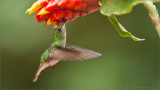Coppery-headed Hummingbird