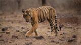 Royal Bengal Tiger  - Cub of T19 Krishna