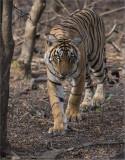 Royal Bengal Tiger - Ranthambore NP.