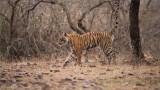 Royal Bengal Tiger Marking Territory