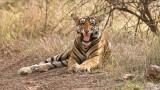 Royal Bengal Tiger Snarl