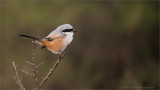 Long Tailed Shrike in India