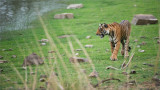 Royal Bengal Tiger looking for a Fight