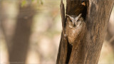 Collared Scops Owl from India