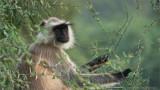 Langur Monkey at Ranthambore NP. India