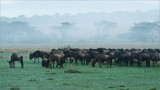 Wildebeest in the Fog