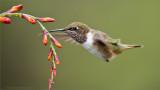 Volcano Hummingbird in Flight