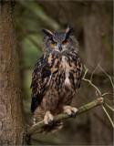 Eurasian Eagle owl Perched